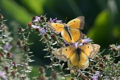 Orange sulphurs (jim_mcculloch) Tags: dsc4002 butterflies lepidoptera