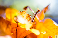 orange (gregor H) Tags: triesen liechtenstein li herbst orange