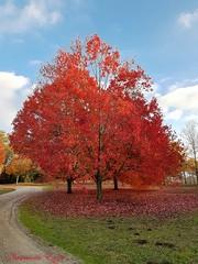 Couleurs d'automne (Ezzo33) Tags: france gironde nouvelleaquitaine bordeaux ezzo33 sony rx10m3 parc jardin automne rouge érable 2017
