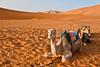 Camel (simone_a13) Tags: morocco maroc camel desert sahara dune sand landscape ergchebbi animal