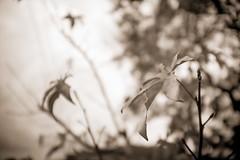 The Falling Leaves... (Rice Bear) Tags: california fuji sancarlos x100t autumn blackwhite blackandwhite cloudy fall leaves rainy