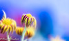End of Autumn ..soon Winter (frederic.gombert) Tags: flower flowers light season winter autumn plant color blue yellow red macro colors nikon