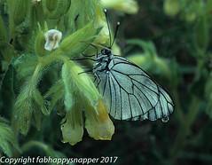 Black-Veined White on Golden Drops after rain (fabHappySnapper) Tags: aveyron blackveinedwhite france goldendrops rain