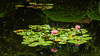 Reflections (- Jan van Dijk -) Tags: reflections duo fleur fiori flower blumen bright sunny pond water waterlilies lily nymphaeaceae likemonet
