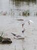 Black-headed Gull (Chroicocephalus ridibundus) with Common Tern-1975 (Stein Arne Jensen) Tags: andorinhadomarcomum balearene balearicislands balearischeinseln bird blackheadedgull canonef100400f4556lisusm canoneos70d charadriiformes charráncomún chroicocephalusridibundus commontern espagne espanya españa europa europe flusseeschwalbe fugl gahperbáiski gaviotareidora guinchocomum hettemåke islasbaleares lachmöwe laridae larusridibundus makrellterne mallorca mouetterieuse muro mákreallacearret måkefugler pajaro regenpfeiferartige salbufera sarocahide spain spania spanien steinarnejensen sternahirundo sternepierregarin trintaréisboreal vademåkeogalkefugler visdief vogel kalatiira lintu oiseau европа обыкновеннаячайка речнаякрачка птица أوروبا الخرشنةالشائعة نورساسود यूरोप アジサシ ユリカモメ ヨーロッパ 普通燕鸥 歐洲 红嘴鸥 鳥 鸟 붉은부리갈매기 유럽 제비갈매기