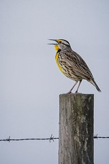 Eastern Meadowlark (c) 2017 Paul Thomas all rights reserved. 21 March 2017 along Canoe Creek Road near Kenansville in Osceola County, Florida