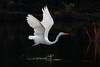 141.jpg (Kico Lopez) Tags: miño lugo aves galicia birds garcetagrande ardeaalba spain rio