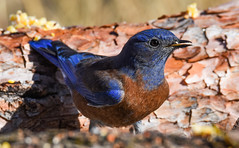 A Closer Look: Western Bluebird (Sialia mexicana): Arizona  CR+ (mharoldsewell) Tags: 2017 arizona d7200 nikon november sialiamexicana westernbluebird bird birds mharoldsewell mikesewell photos santacruzcounty