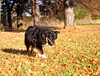 46/52 Weeks for Maddy (ginam6p) Tags: maddy 52weeksfordogs australianshepherd toronto nikon 2017 fall