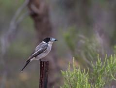 Butcher bird (Matt OZW) Tags: birds