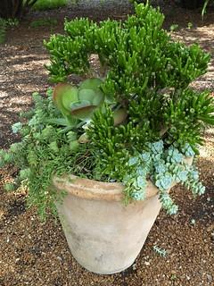 Wheaton, IL, Cantigny Park, Potted Succulent Plants