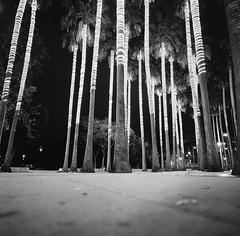 San Jose (bior) Tags: hasselblad500cm trix kodaktrix distagon 120 mediumformat 6x6cm street sanjose palmtree sidewalk
