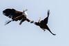 Mating ritual fish eagle (mayekarulhas) Tags: krugerpark mpumalanga southafrica za fish fisheagle canon bird mating wildlife avian