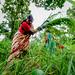 Women harvesting lemongrass