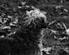 Mop Top (John Neziol) Tags: jrneziolphotography nikon nikondslr nikoncamera nikond80 naturallight monochrome bokeh blackwhite brantford beautiful bright dog pet petphotography portrait petphotographer animal animalphotography schnauzer outdoor odd leaves love grass