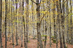 Forest (Stefano Rugolo) Tags: stefanorugolo pentax k5 smcpentaxm50mmf17 forest tree woodland beech montisimbruini landscape nature lazio autumn livata wood