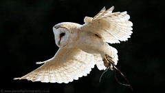 Birds of Prey - part 1 ( explored ) (NED_KELLY_GUY) Tags: training flutter owl flying claws spread fluffy summer flight day backlight bird glide wings barnowl forestofdean cream birdofpreycentre heartshapedface