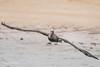 Brown Pelican heading straight for us 500_3145.jpg (Mobile Lynn) Tags: birds wild pelican brownpelican nature bird fauna pelecaniformes pelecanusoccidentalis shag wildlife waterbird waterbirds santafeisland galapagosislands ecuador ec coth specanimal coth5