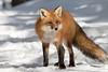 Red Fox (NicoleW0000) Tags: redfox animal wild wildlife foxy friday