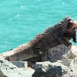 Iguana @ turquoise Caribbean Ocean thumbnail