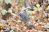 """Eichelhäher - garrulus glandarius (krueesch) Tags: eichelhäher """"garrulus glandarius"""" rabenvogel vogel vögel birds bird"""