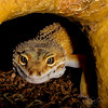 Diego the Leopard Gecko on the prowl for crickets. (StuffDavidSees) Tags: leopardgecko gecko reptile lizard herp