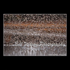 the swarm (wildlifephotonj) Tags: semipalmatedsandpipers swarm flight bombayhook bombayhooknwr wildlifephotography wildlife nature naturephotography wildlifephotos naturephotos natureprints birds bird wadingbirds shorebirds