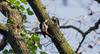 Great Spotted Woodpeckers (jonathancoombes) Tags: woodpecker great spotted tree pair birds nature wildlife explore leaves woods forest ngc