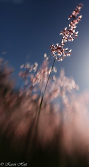 Falling into the Sun -  field of dreams series (karenannehutt) Tags: abstract lensbaby grass grassland grasses grassseed canon canon5diii sky colour flower blur surreal meadow field