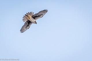 Prairie Falcon - *Explore