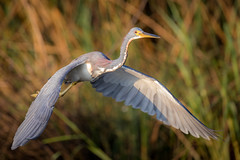 Flyby (gseloff) Tags: tricoloredheron bird flight bif feeding nature wildlife armandbayou pasadena texas kayakphotography gseloff
