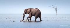Or That Way 5 (Alec Lux) Tags: africa kariba zimbabwe adventure elephant elephants herd lake lakekariba landscape landscapephotography mammals nature naturephotography ripples travel traveling water waves wildlife wildlifephotography mashonalandwestprovince zw