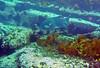 P1014096.bmp (LoxPix2) Tags: loxpix australia bareisland scuba diving sydney artilleryshells