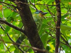 Taiwan Barbet五色鳥 (elenaleong) Tags: birds taiwanbarbet barbet endemicbirdoftaiwan 五色鳥 taipei fivecolourbird