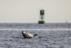 Harbor seal - Prince's Bay, Staten Island, New York (superpugger) Tags: pinniped pinnipeds mammal mammals animals statenislandwildlife wildlife seal seals newyorkcitynature