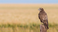 Brown Falcon (chrissteeles) Tags: brownfalcon falcon raptor birdofprey bird birding freeling southaustralia sa