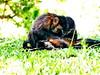 Macacos-prego fazendo catação (grooming) (marianaplorenzo) Tags: adultfemale animais behavior blackhornedcapuchinmonkey capuchinmonkey catação comportamento grooming juveniles juvenis macacos macacosprego male primatas primates sapajusnigritus social uel universidadeestadualdelondrina