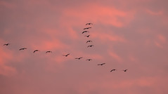 0092 (149) - Geese going home to roost (Zana Benson) Tags: pinkfootedgeese scotland sunset