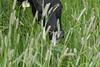 Livestock088 (NRCS Montana) Tags: livestock pasture pestmanagement weeds weedcontrol