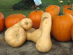 Long Necks And Pumpkins. (dccradio) Tags: cavetown smithsburg md maryland produce producestand ag agricultural farm farming agriculture pumpkin pumpkins orange fall autumn harvest longneck squash grass lawn yardgreenery outside outdoors orchard mountainvalleyorchard canon powershot a3400is