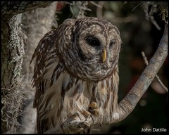 The dependent Barred Owl (flintframer) Tags: barred birds nature wildlife wow dattilo america american florida central juniper river lake george canon 7d markii ef100400mm 14x