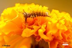 keera_on merygold (AHMER RIAZ) Tags: macro stack imagestacking bug flower hairs dreams macrodreams