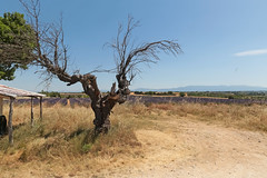 Route de Manosque - Valensole (France) (Meteorry) Tags: europe france côted'azur paca alpesdehauteprovence valensole plateaudevalensole lavender lavande purple violet campagnelaforge tree arbre gnarytree alpes routedemanosque june 2017 meteorry explore