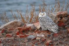 Female Snowy owl (Peter Granka) Tags: snowyowl hamilton
