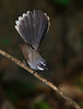 Fantail (Zahoor-Salmi) Tags: zahoorsalmi nature birds vulturs animals wildlife wwf photos tv bbc national geographic natural landscaps himalayan