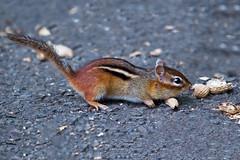 Chipmunk (Brian E Kushner) Tags: chipmunk squirrel newjersey audubon nikon d5 nikond58 backyardanimals bkushner backyard wildlife audubonnj animals ©brianekushner afs nikkor 200500mm f56e ed vr nikonafsnikkor200500mmf56eedvr