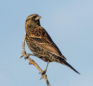 First Summer Red-wing Blackbird