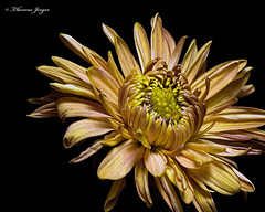 Brown Fall Mum 1029 Copyrighted (Tjerger) Tags: nature autumn black blackbackground bloom blooming brown closeup fall flora floral flower green macro mum plant single stark white wisconsin yellow natural