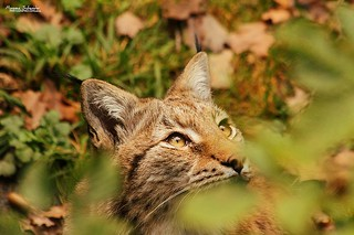 Finding the Lynx