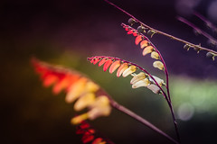 (C-47 [Offline]) Tags: colors effects leaves closeup plants dof bokeh colours light lowlight yellow red interesting flickr feel feelings fun focus primelense prime helios442 helios44258mm vintage mothernature nature imagination impressions simple
